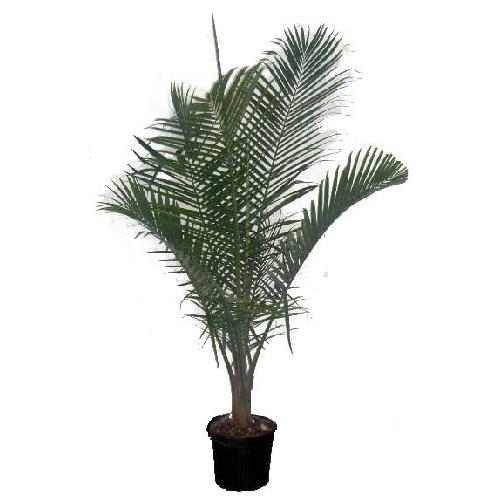 Costa Nursery Palmier 171 Majesty 187 R 233 No D 233 P 244 T
