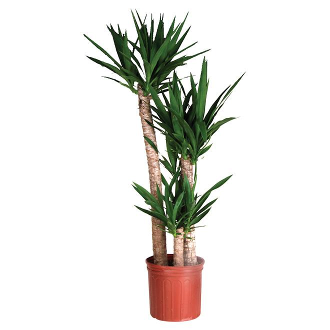 costa nursery plante arbuste yucca cane r no d p t. Black Bedroom Furniture Sets. Home Design Ideas