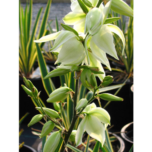 Assorted Yucca
