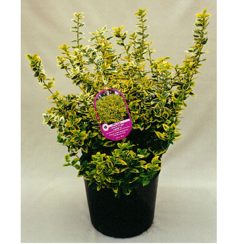 Assorted Euonymus
